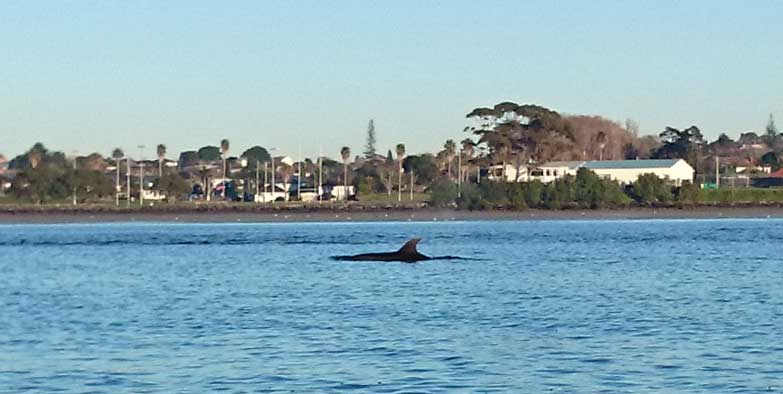 Dolphins on the Tamaki